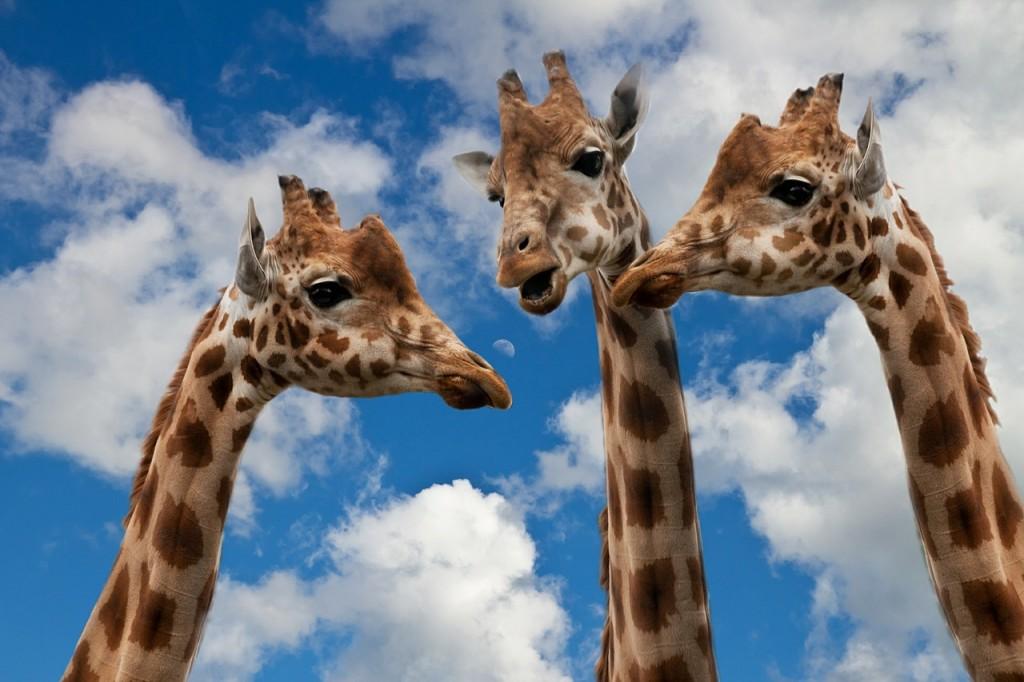 giraffes talking