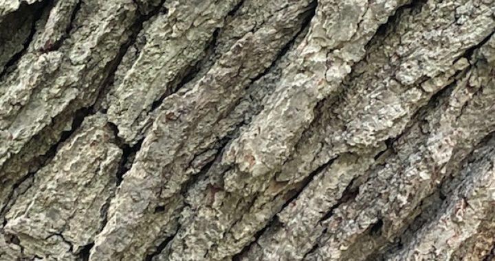 close up of oak tree bark